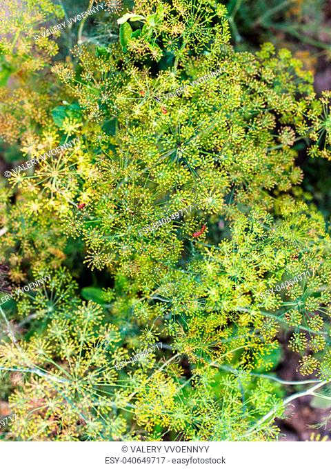 top view of inflorescences of dill with bugs in vegetable garden in summer evening in Kuban region of Russia