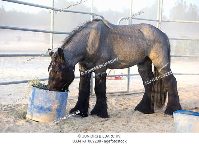 Ardennes Horse. Clipped adult feedding from a bucket. Abu Dhabi