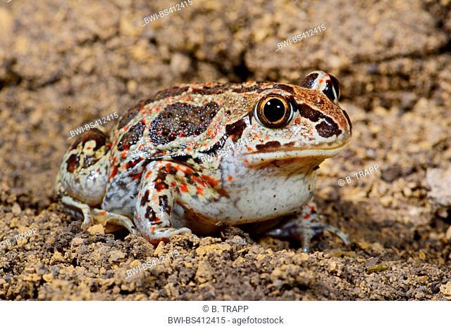 common spadefoot, garlic toad (Pelobates fuscus), sitting on the ground, Romania, Moldau, Iași