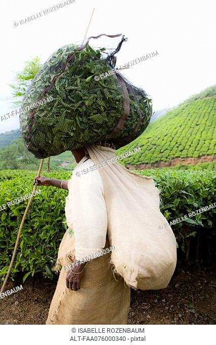 India, worker harvesting tea leaves, carrying bag on head