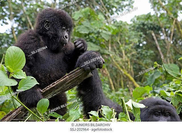 Mountain Gorilla (Gorilla beringei beringei). Juvenile and adult holding a log. Volcanoes National Park, Rwanda