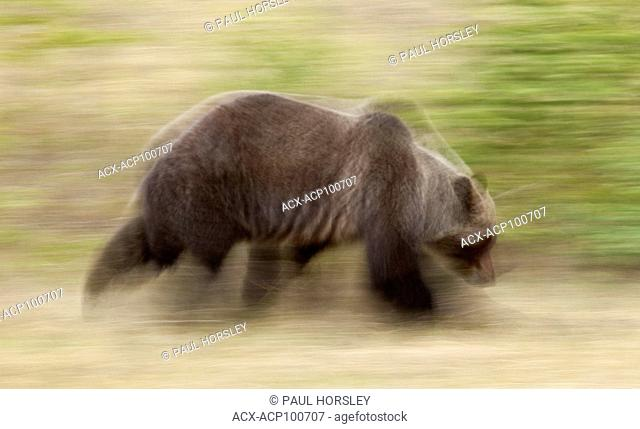 Male Brown Bear running, Jasper National Park, Alberta, Canada