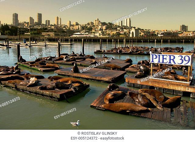 Seals on floating platform on Pier 39