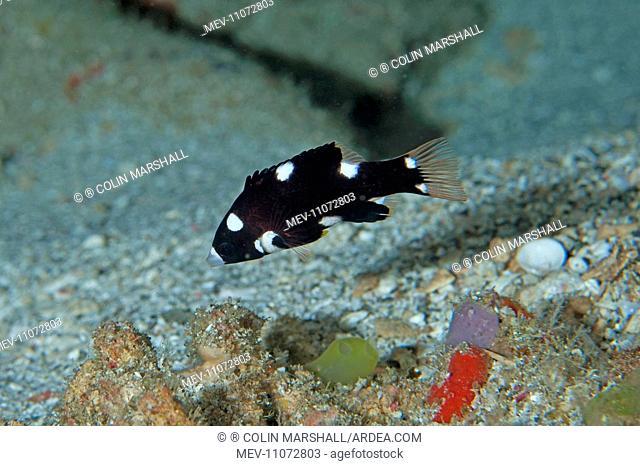 Juvenile Axilspot Hogfish Manta Alley dive site, Padar Island, Komodo National Park, Indonesia . Juvenile Axilspot Hogfish