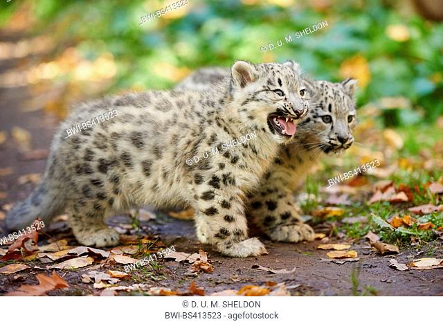 snow leopard (Uncia uncia, Panthera uncia), two cubs in autumn