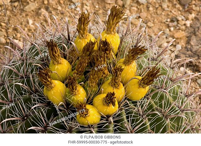 Fishhook Barrel Cactus Ferocactus wislizenii in fruit, Sonoran Desert, Arizona, U S A