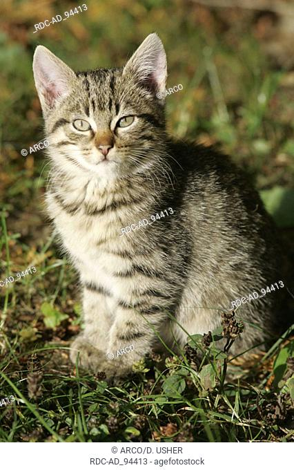 Domestic Cat kitten