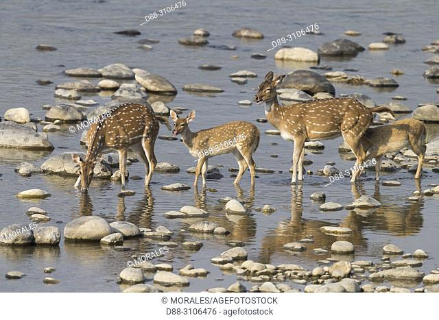 Asia, India, Uttarakhand, Jim Corbett National Park, Chital or Cheetal or Chital deer, Spotted deer or Axis deer( Axis axis), crossing a river