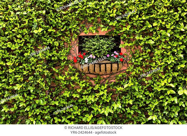 A flowering window box surrounded by fig vine on a wall along Water Street in historic Charleston, SC