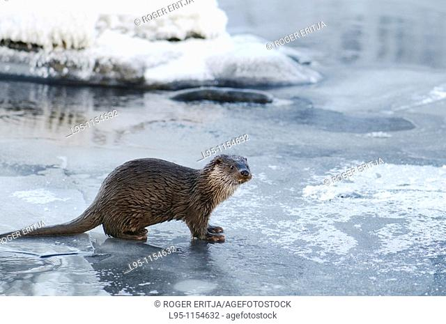 Eurasian Otter Lutra lutra young individual playing and fish feeding over frozen surface of the river in Kajaani, Finland