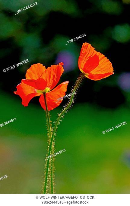 Poppy Blossoms