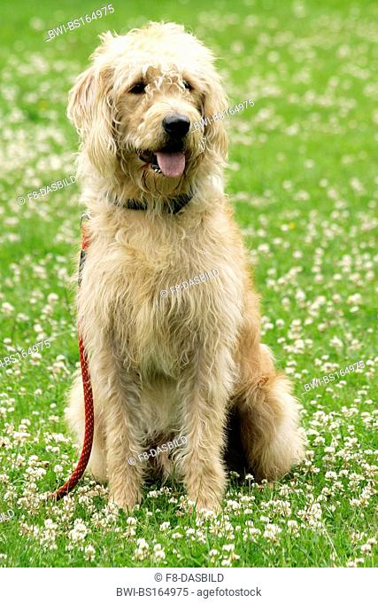 Labradoodle (Canis lupus f. familiaris), sitting in a meadow, crossbreed or hybrid dog created by crossing the Labrador Retriever and the Standard or Miniature...