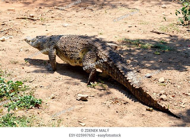 Portrait of a Nile Crocodile Crocodylus niloticus, Victoria Falls, Zimbabwe