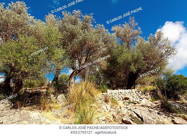Olivos en el Tossal Verd, Serra de Tramuntana, Mallorca, Islas Baleares