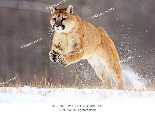 Mountain Lion (Felis concolor) in a game farm. Minnesota. USA