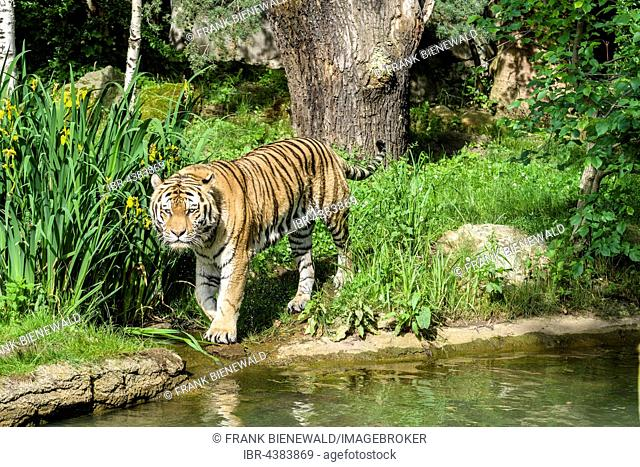 Amur Tiger (Panthera tigris altaica), walking along a waterhole, captive, Leipzig, Saxony, Germany