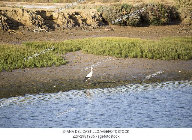 Stork at Gilao river in Tavira Algarve Portugal