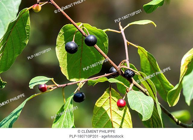 Wild black cherry / rum cherry / mountain black cherry (Prunus serotina) close-up of leaves and ripe and unripe berries in summer
