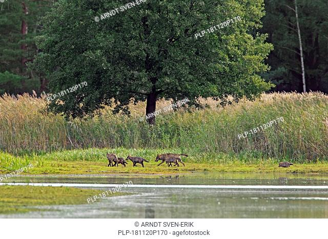 European gray wolf pack with wild grey wolf juveniles (Canis lupus) foraging along lake shore, Saxony / Sachsen, Germany