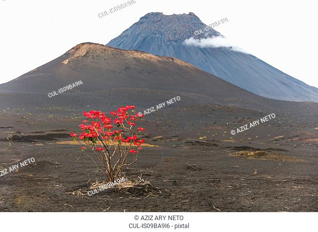 Red leaves growing on tree by volcano, Fogo, Cape Verde, Africa