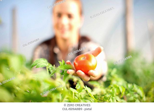 Young woman showing tomato grown at vegetable farm