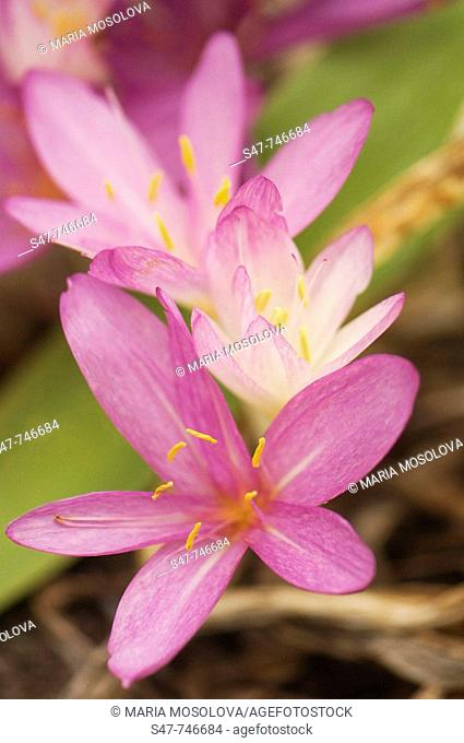 Fall Crocus. Colchicum autumnale. September 2007, Maryland, USA