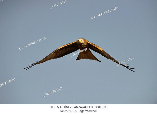 Red kite (Milvus milvus). Sierra de Guadarrama, Madrid province, Spain