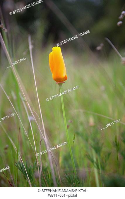 A single California Poppy