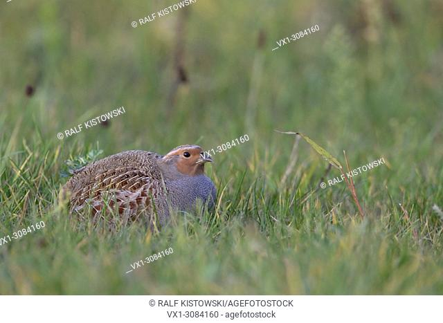 Grey Partridge ( Perdix perdix ), sitting, hiding in a meadow, rare bird of open fields and farmland, threatend by intensive farming, wildlife, Europe