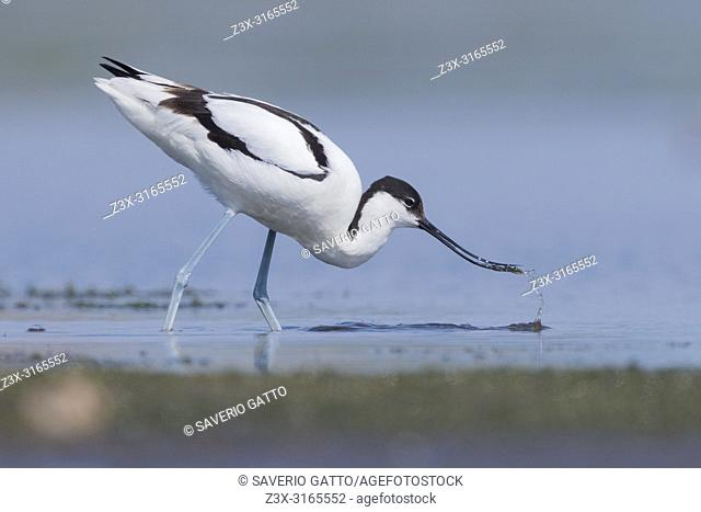 Pied Avocet (Recurvirostra avosetta), adult feeding in a swamp