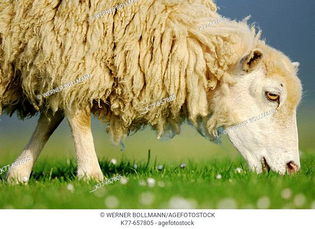 Domestic Sheep (Ovis aries). Mainland, Orkney Islands, Scotland