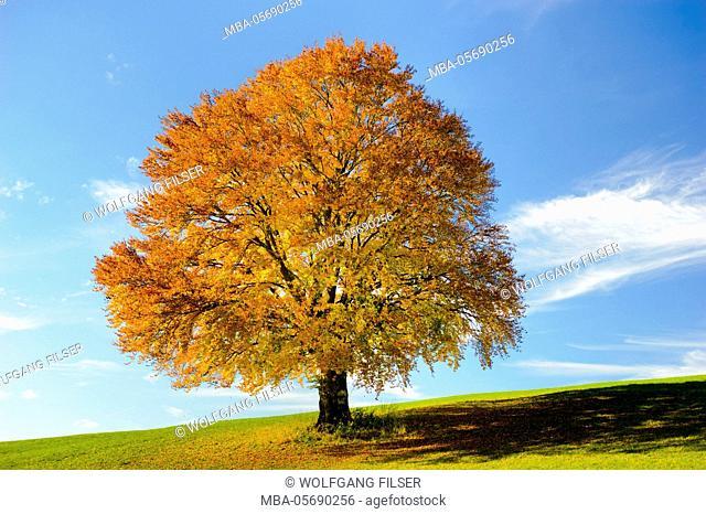 Big beech in autumn as a single tree