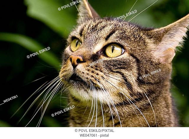 Close-up of domestic tabby pattern male cat