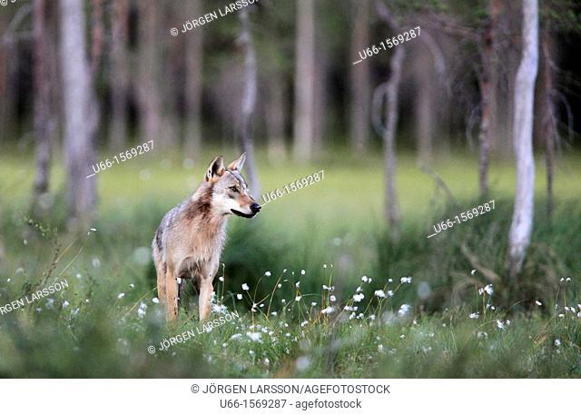 Wolf Kuhmo Finland
