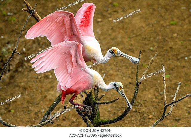 Roseate spoonbill (Ajaia ajaja) Courting pair, Smith Oaks Audubon rookery, High Island, Texas, USA