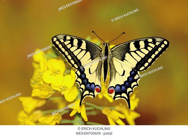 Swallowtail butterfly sitting on flower