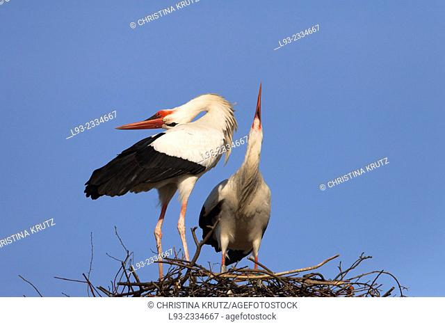 White storks (Ciconia ciconia) standing on their nest