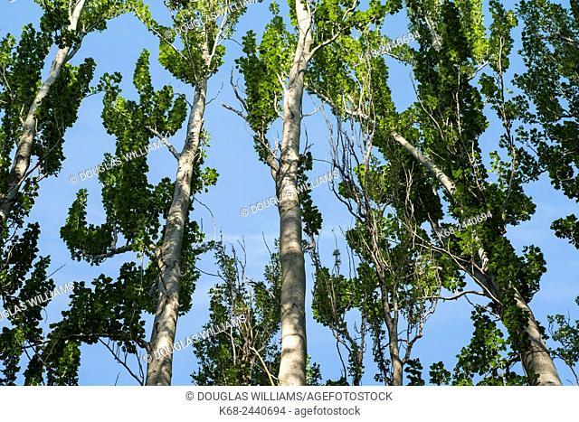 Poplar trees on Saturna Island, BC, Canada