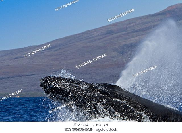 Adult male humpback whale Megaptera novaeangliae head-lunging in the AuAu Channel between the islands of Maui and Lanai, Hawaii, USA