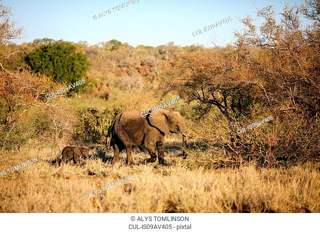 Female elephant leading baby elephant through bush, Kruger National Park, South Africa