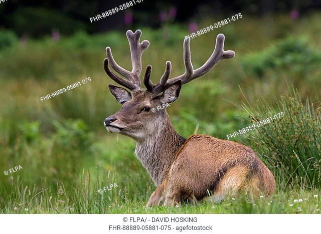 Red Deer stag with velvet antlers - Isle of Jura Scotland