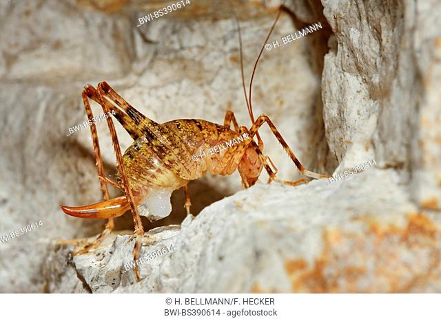 Cave cricket (Troglophilus neglectus), female