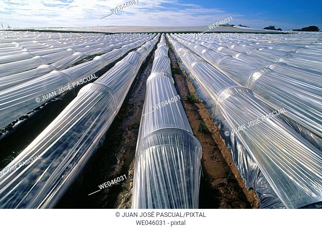 Strawberry fields, Cartaya. Huelva province, Andalusia, Spain