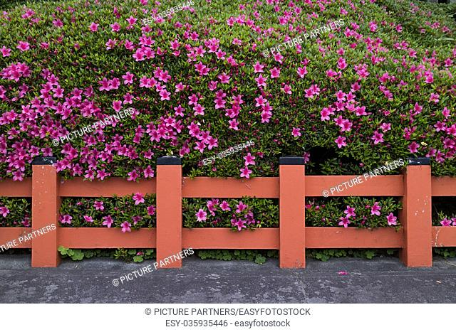 Kyoto, Japan - Hedge of pink azalea flowers behind a traditionel red fence