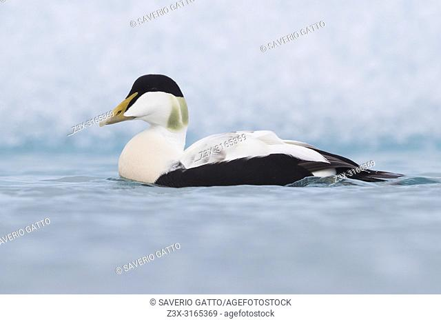 Common Eider (Somateria mollissima), adult male swimming