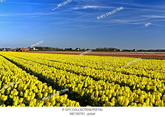 Field of yellow tulips of the species Yellow Purissima for the production of flower bulbs in the Bollenstreek area, Noordwijkerhout, Netherlands