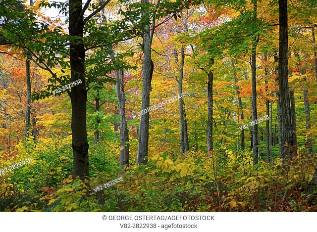 Forest, White Rocks National Recreation Area, Green Mountain National Forest, Vermont