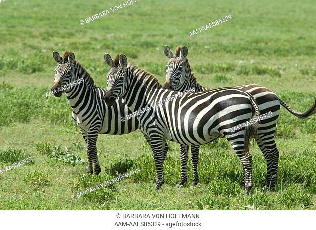 Burchell's Zebra standing together, watching intently, Serengeti National Park, Tanzania