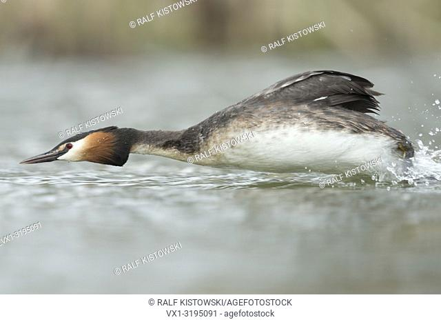Great Crested Grebe (Podiceps cristatus) chasing a rival out of his breeding territory, fast and furious