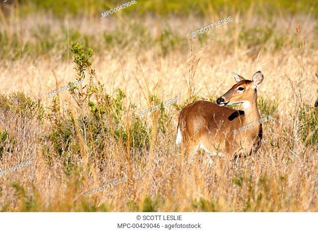 White-tailed Deer (Odocoileus virginianus) in tall grass, Kissimmee Prairie Preserve State Park, Florida